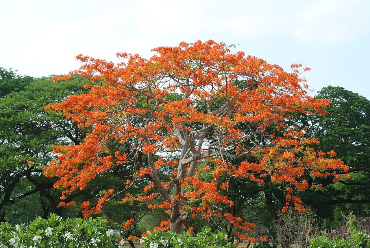 El Bombax ceiba es un árbol tropical