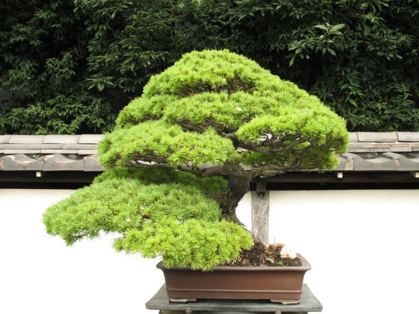 Errores m s comunes en el cultivo del bons i Jardin japonais bonsai