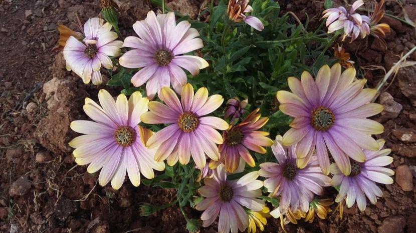 Las Dimorphoteca son flores que se pueden cultivar en macetas