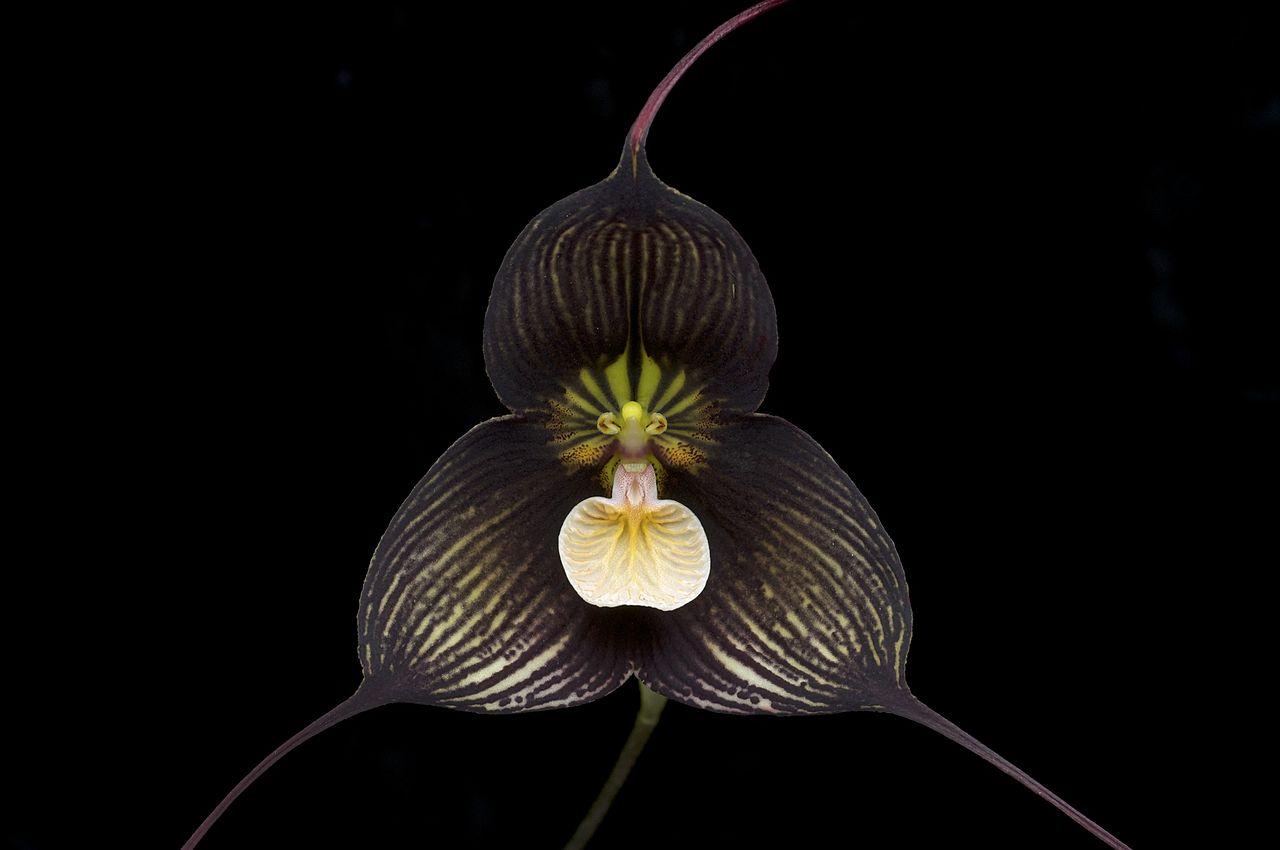 La Dracula vampira es un tipo de orquídea negra