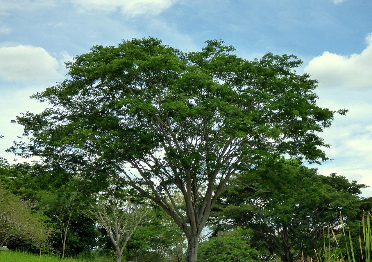 El Enterolobium es un árbol tropical con copa aparasolada