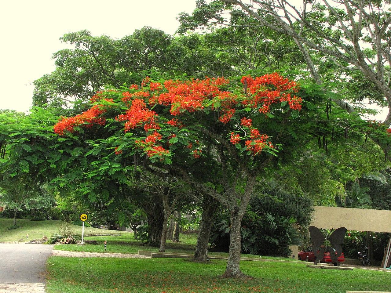 El flamboyan es un árbol caducifolio o perennifolio