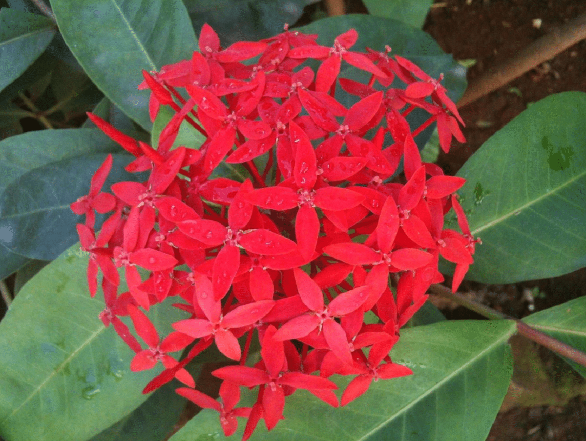 La penta es una planta de flores rojas