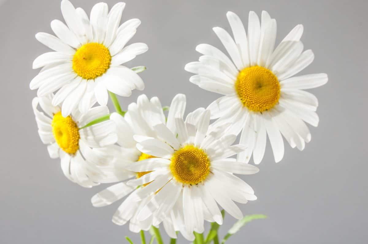 Las flores de las margaritas son blancas