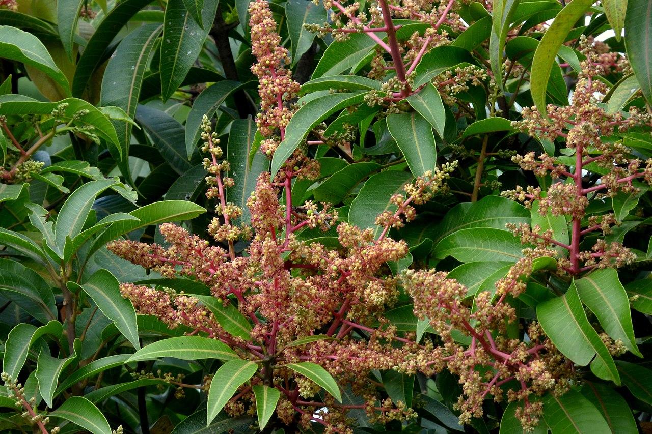 Las flores del mango son panículas