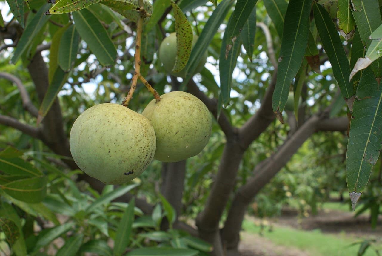 El mango es un árbol tropical