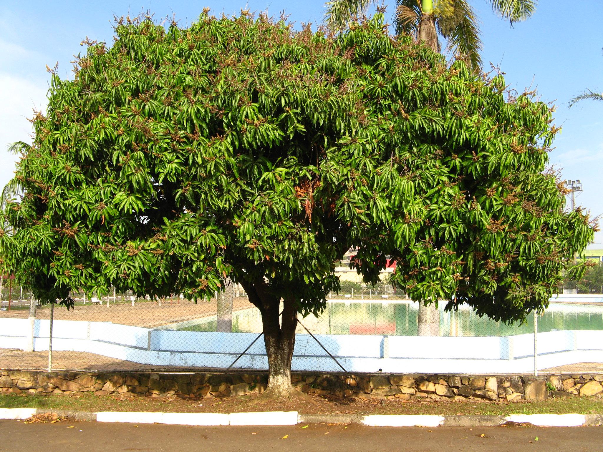 El mango es un árbol tropical grande