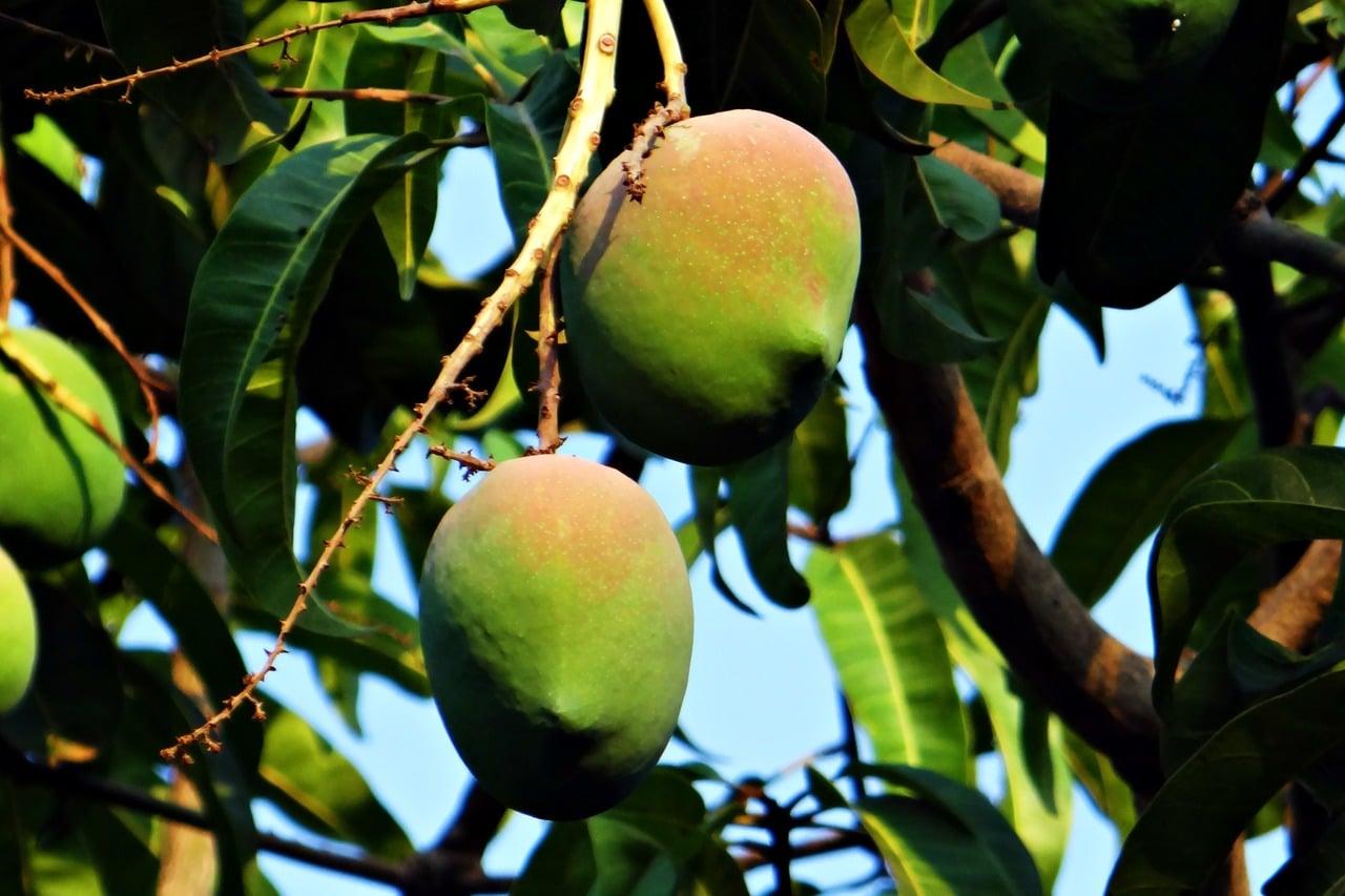 Los mangos son frutos comestibles