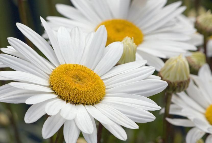Margarita blanca común