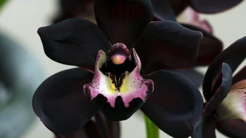 Orqu dea negra una planta nica for Donde venden plantas