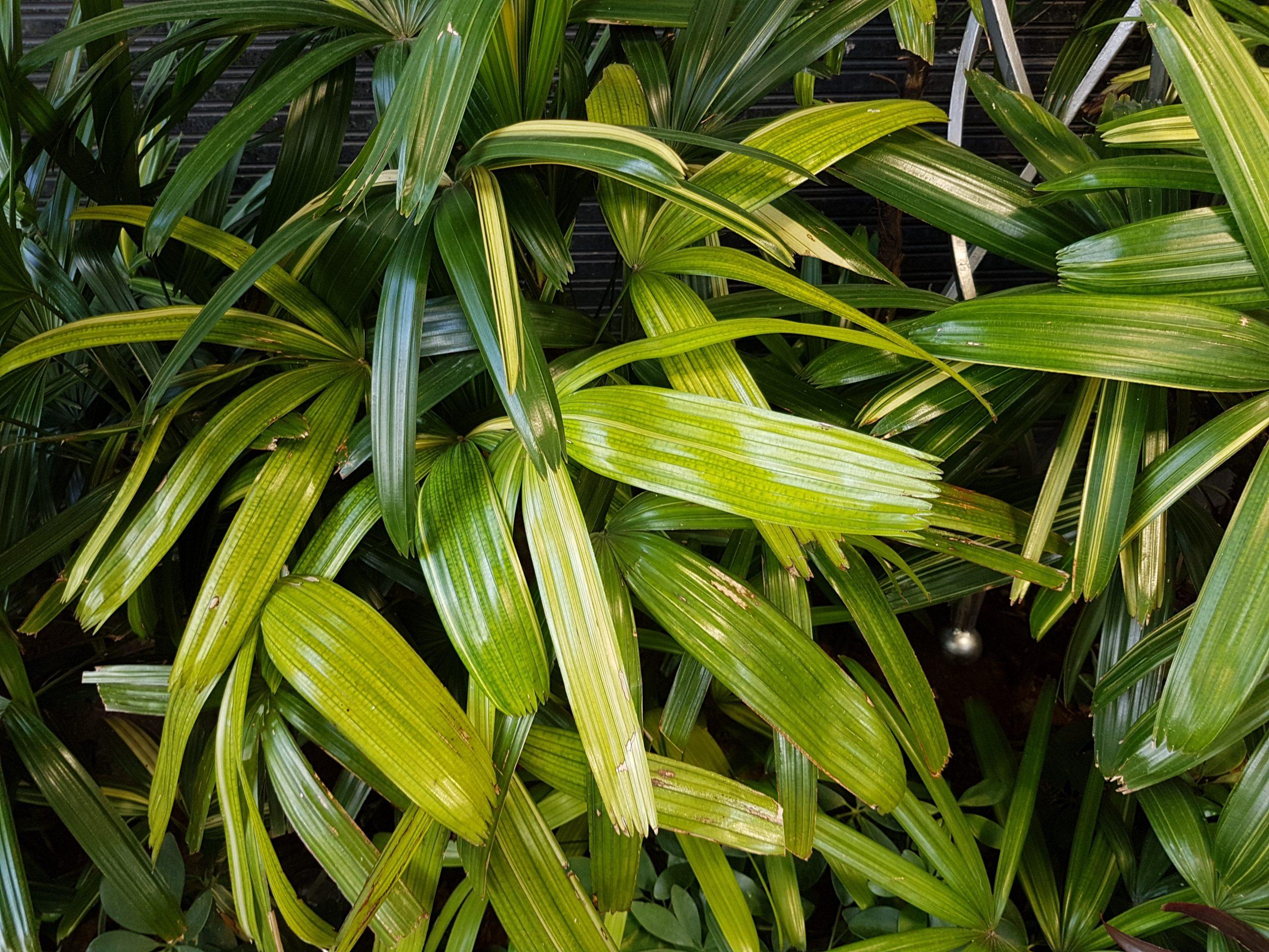 Las palmeras de interior necesitan cuidados especiales