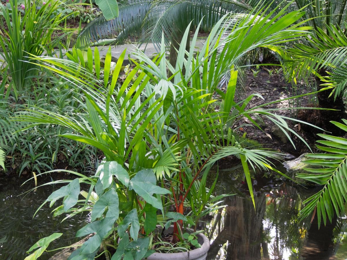 La palmera roja es una especie tropical