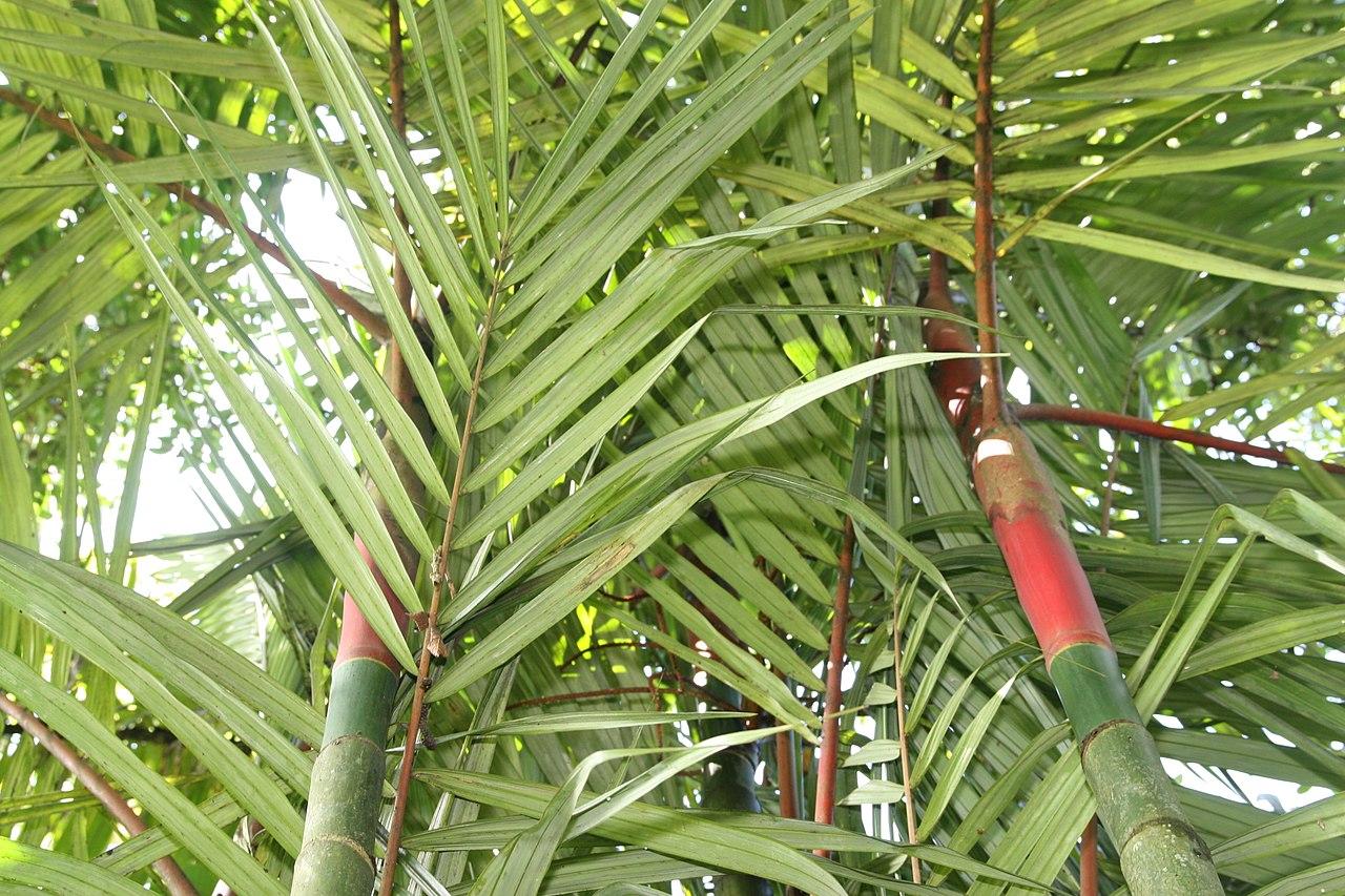 La palmera roja es una planta de varios troncos