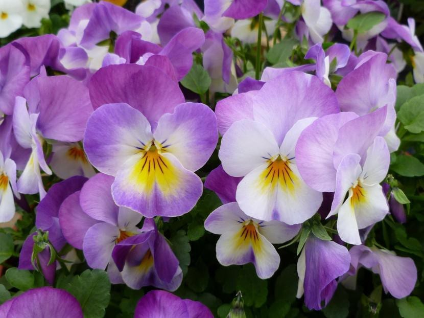 Flores preciosas de pensamientos