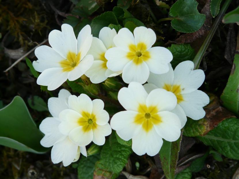 Primavera en otoño Primula1