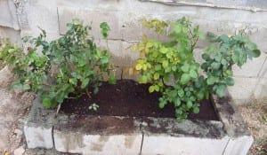Rosales en la jardinera
