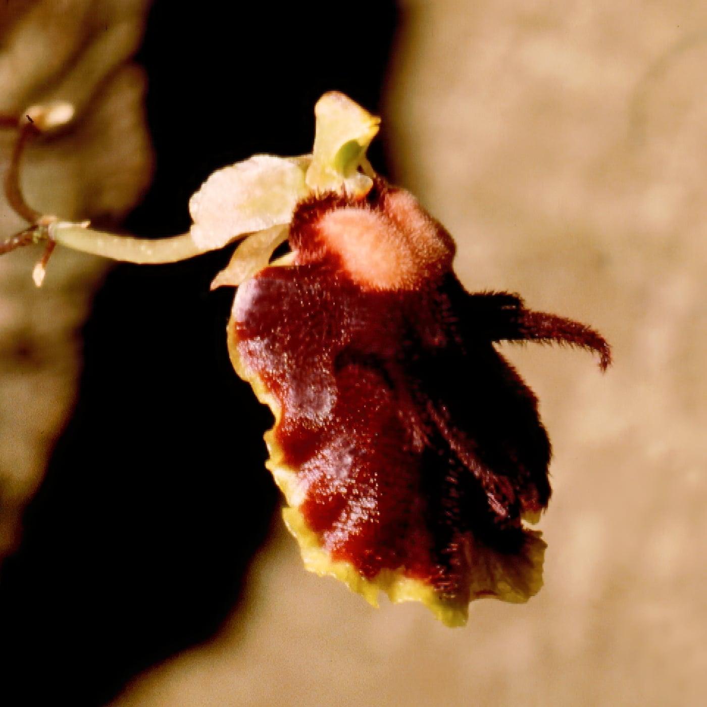 La Tolumnia henekenii es un tipo de orquídea negra