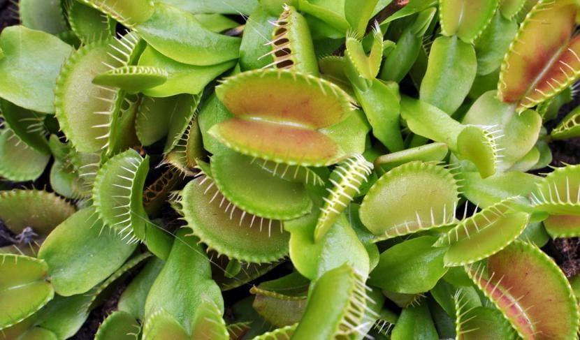Plantas de Dionaea muscipula jóvenes