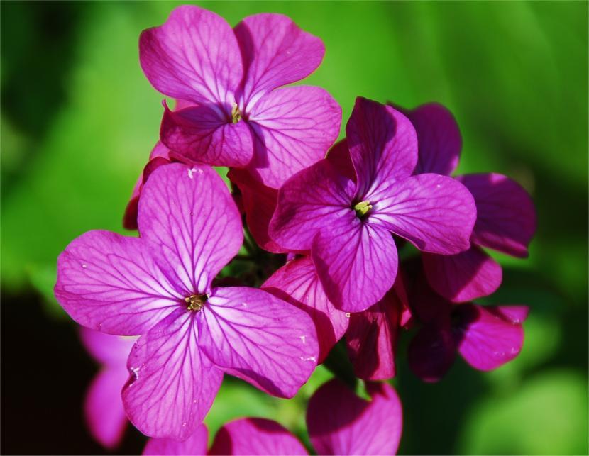 Flores de Lunaria annua