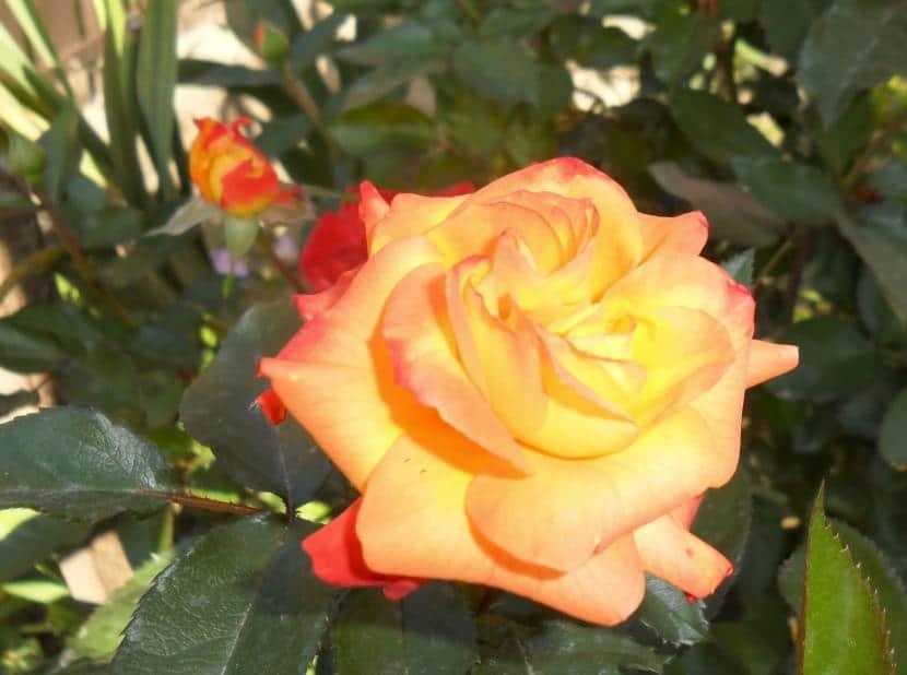 Rosa sp