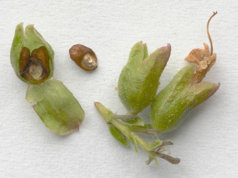 Semillas de Rosmarinus officinalis