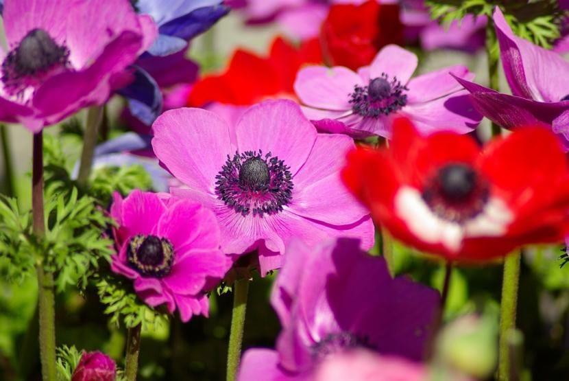 Las anemonas son flores que brotan en primavera
