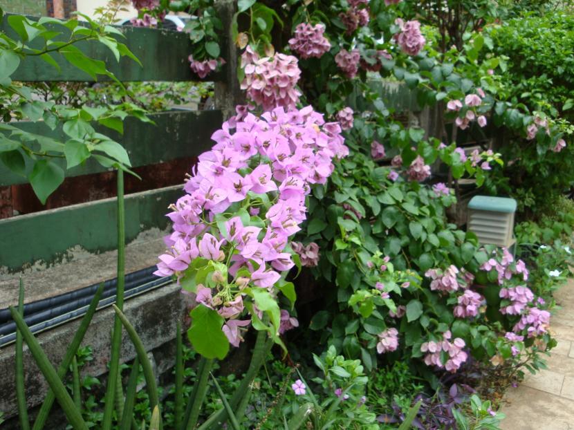Buganvilla rosa