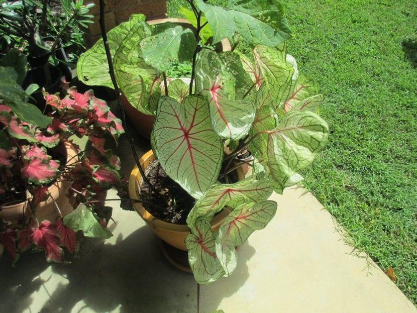 El caladio se puede cultivar en maceta