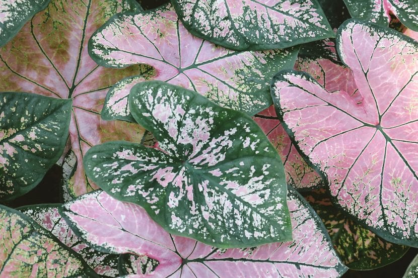 El caladio es una planta decorativa pero tóxica