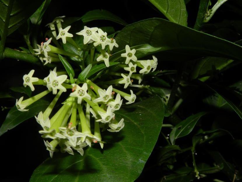 Flores de Cestrum nocturnum