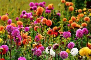 Las dalias tiene flores de varios colores