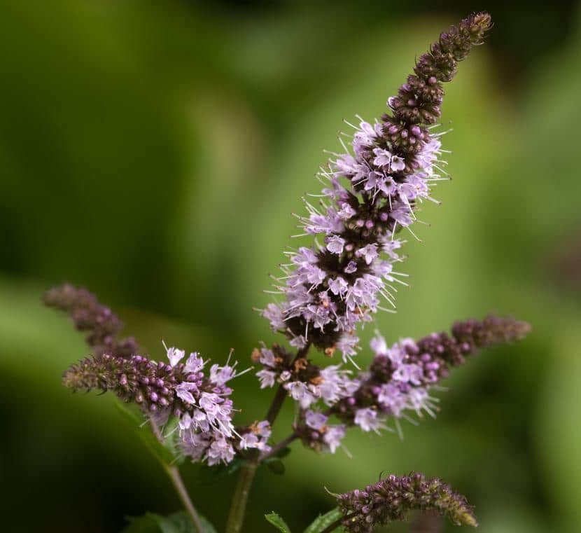 Flores de Mentha x piperita