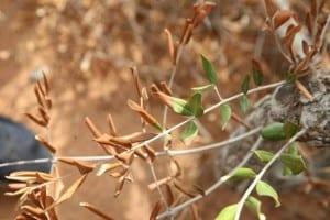 Hojas secas en olivo