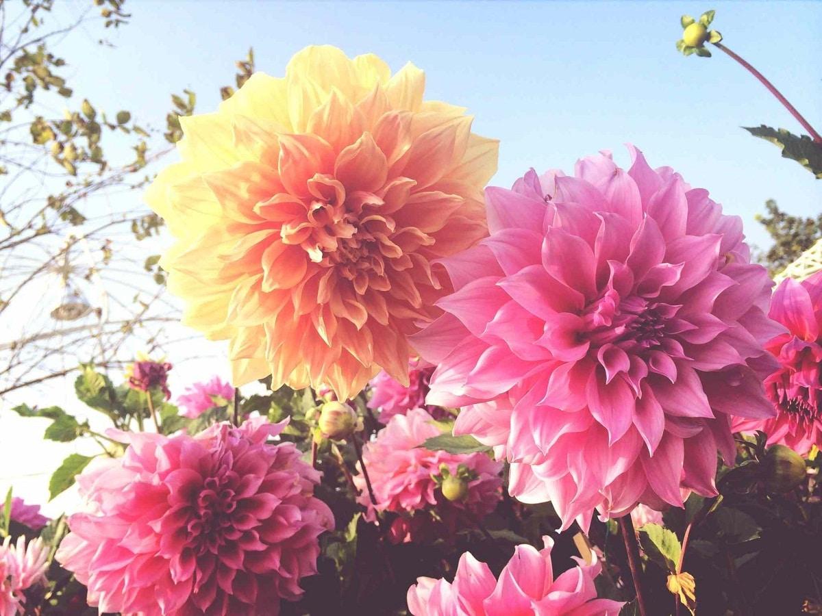 Las dalias florecen en primavera-verano