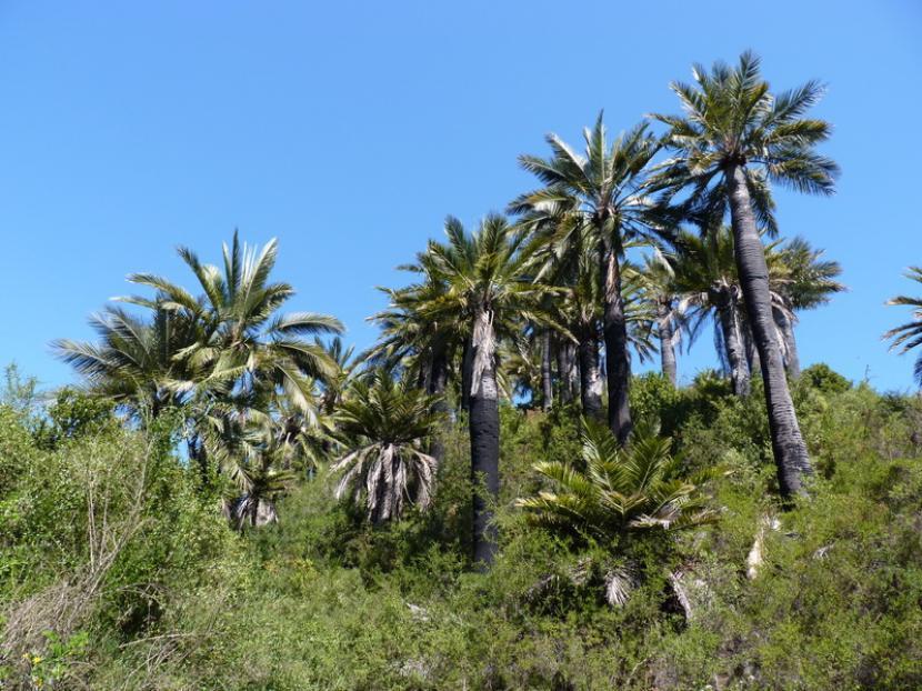 Vista de Jubaea chilensis en hábitat