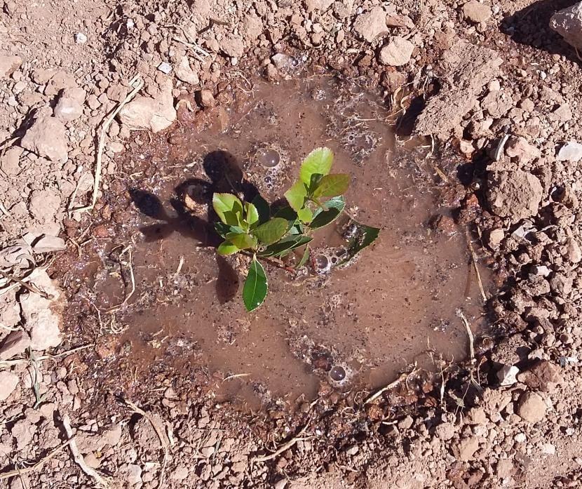 Madroño plantado