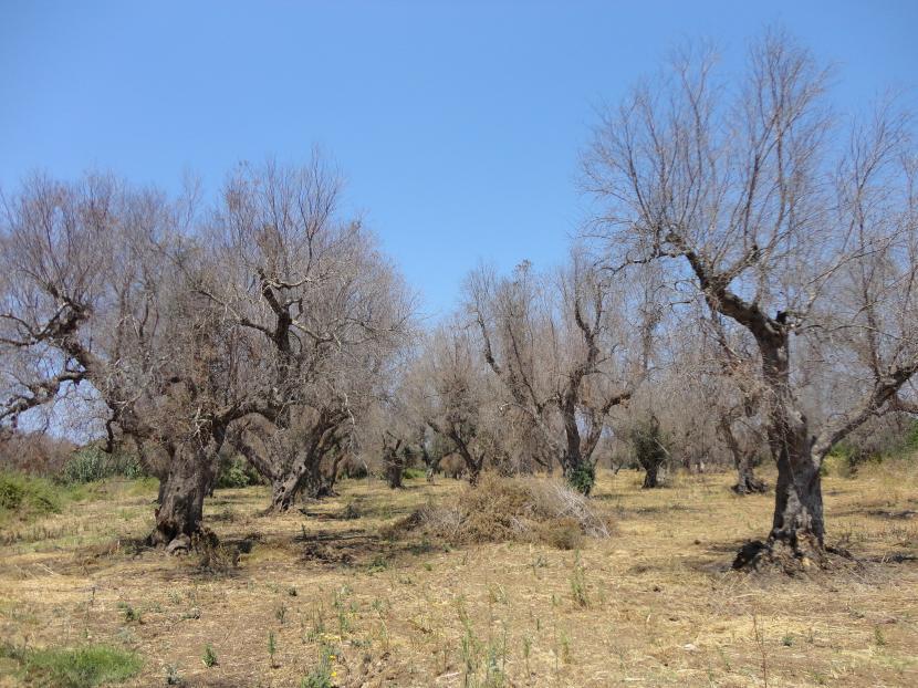 Olivos secos