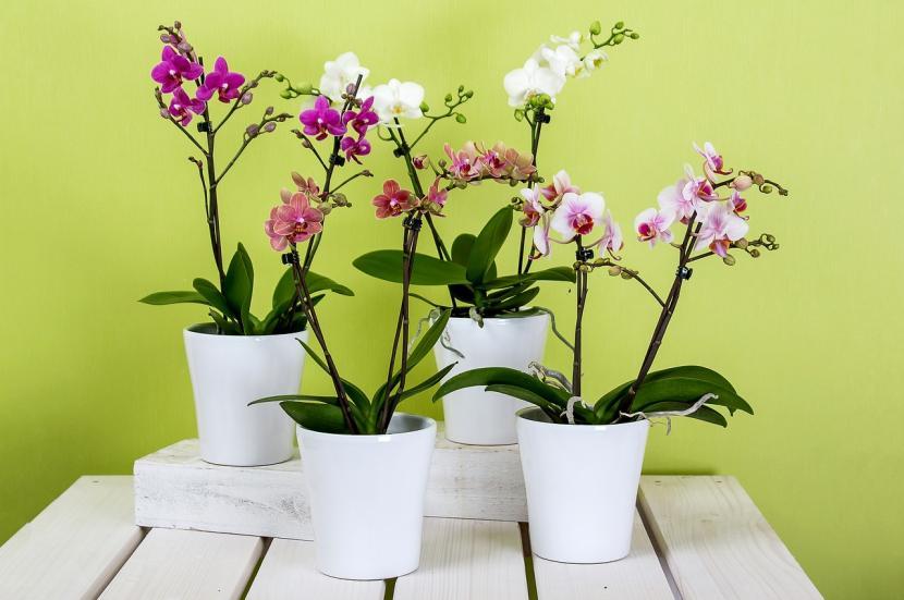 Orquídeas en maceta