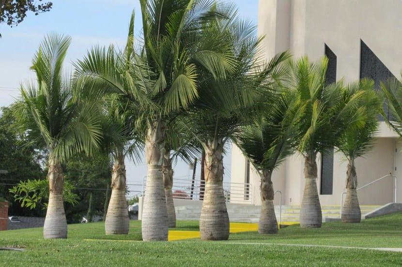 Palma Augusta
