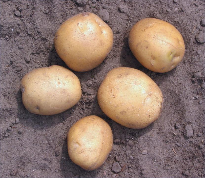 Patatas en tierra