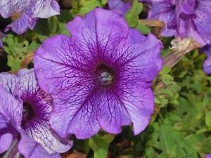 Petunia flor lila