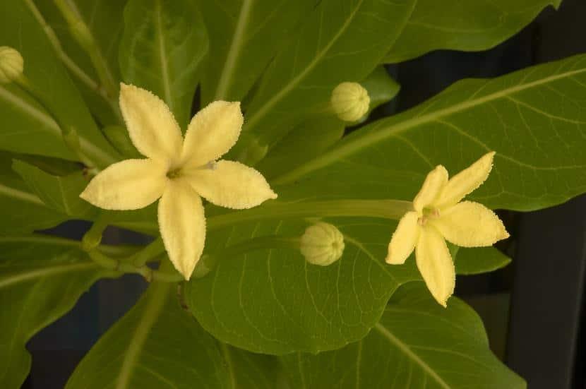 Flores de Brighamia insignis