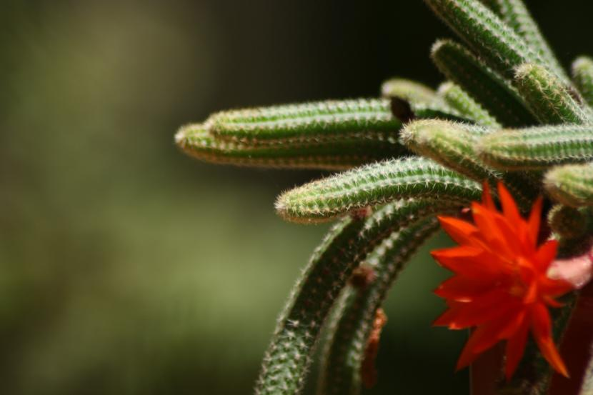 Chamaecereus silvestri