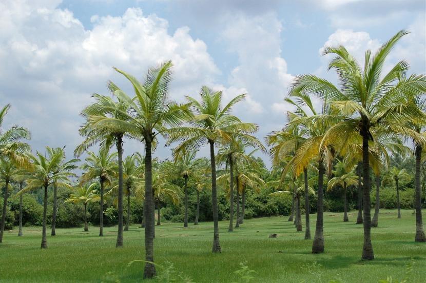 Plantación de Cocos nucifera