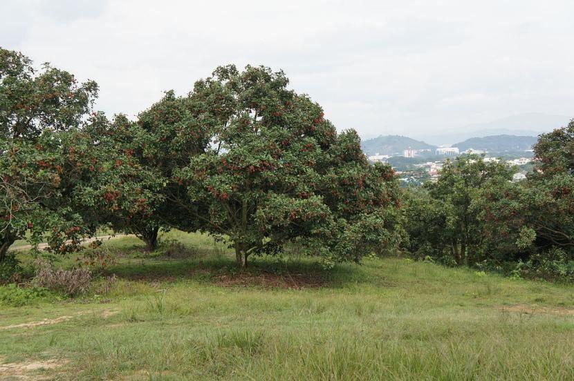 Nephelium lappaceum, vista del árbol