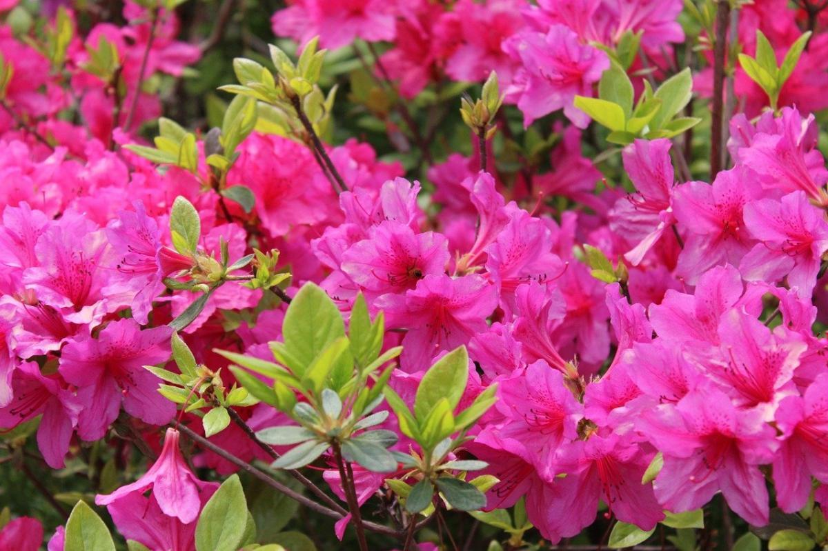 Las azaleas son plantas de media sombra
