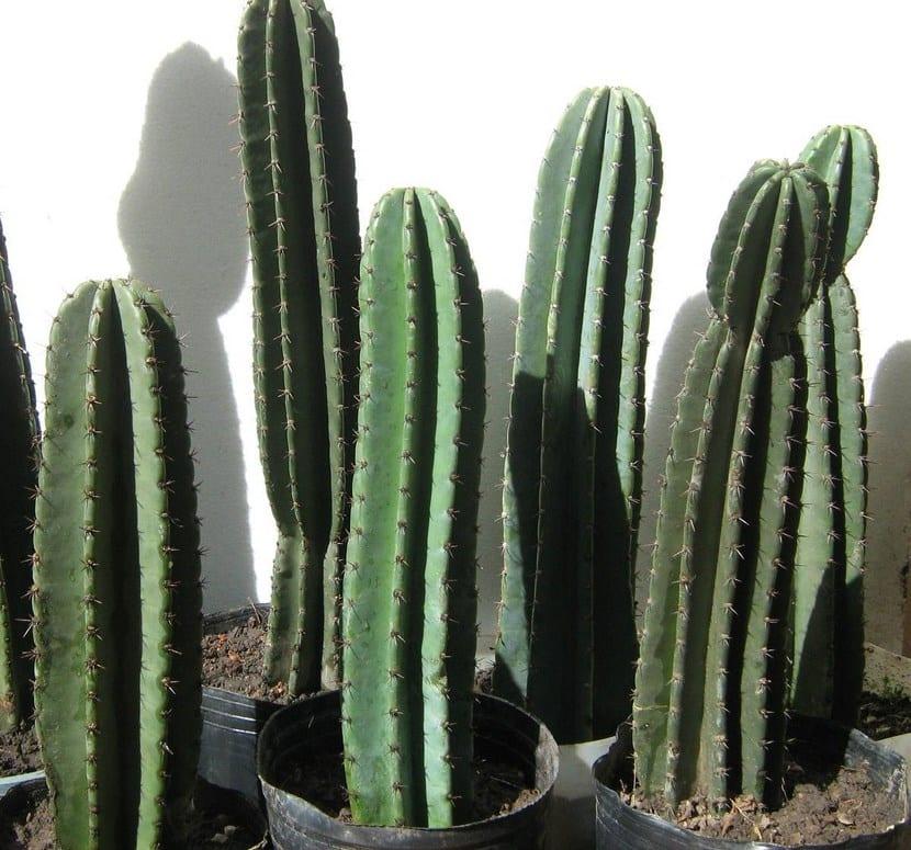 Cuidar los cactus en verano for Cactus cuidados exterior