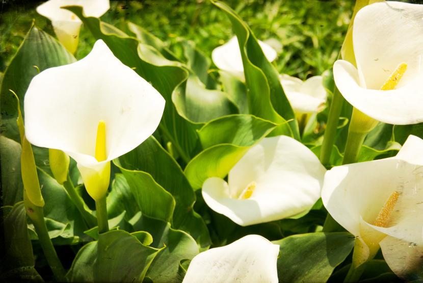 Calas en flor