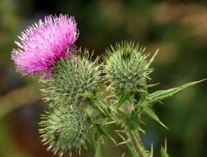imagen de un cardo con una flor abierta
