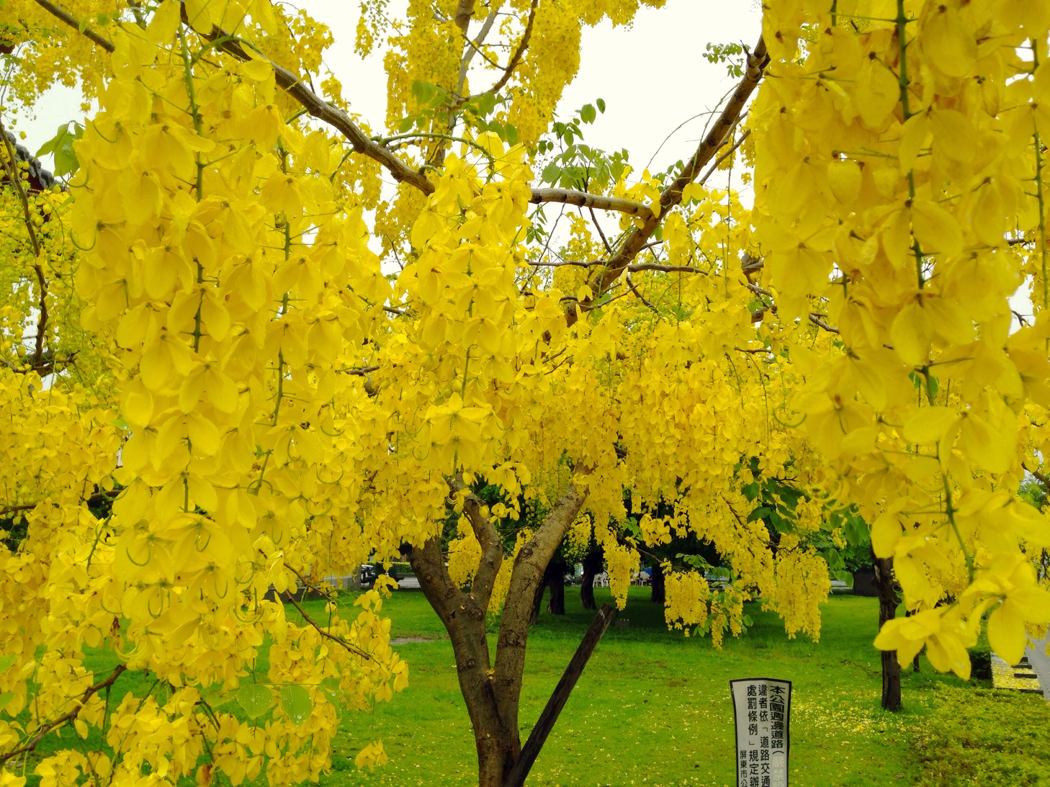 La Cassia fistula es un árbol para climas tropicales
